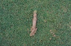 University of Florida, Florida Field, Gainesville, FL.  John Pridgen, Sports Turf Manager.  Close up of soil sample taken with Pocket Profile Sampler.
