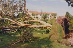 Some larger trees were also blown over like this Sea Grape tree at the Emerald Hills Country Club in Hollywood, FL.  Bob Harper is superintendent here.
